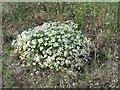 TQ0280 : Wild Chamomile, beside farm track, Iver by Rob Emms