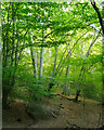 TQ4296 : Sunlight in the canopy, Epping Forest, Loughton by Roger Jones
