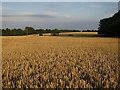 TL3154 : Wheat field by Hugh Venables