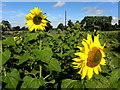 H5362 : Sunflower heads, Curr : Week 33