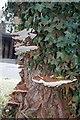 TQ3567 : Bracket Fungus on a Stump by Glyn Baker