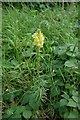 SK8925 : Common Toadflax flowering in verge by Bob Harvey
