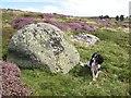 SJ2244 : Rhyolite erratic boulder by Jonathan Wilkins