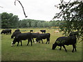 TL3713 : Bulls in a field near to Mead Wood by Peter