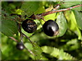 H3467 : Sloe berries, Cornavarrow by Kenneth  Allen