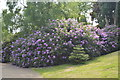 TQ6039 : Rhododendron, Dunorlan Park by N Chadwick