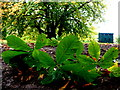 H4573 : Broken chestnut tree twig, The Grange, Omagh by Kenneth  Allen
