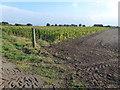 TL4373 : Crop of maize on Dam Bank Drove near Aldreth, Cambridgeshire by Richard Humphrey