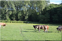 TQ3327 : Cattle by High Weald Landscape Trail by N Chadwick