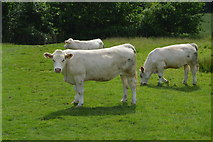TQ5344 : Cattle, Penshurst Park by N Chadwick