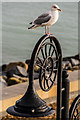 SY3492 : Herring gull on lamppost by Ian Capper