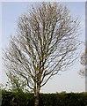 TQ7818 : Wild service tree by Patrick Roper