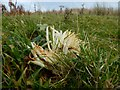NS4279 : A fungus: White Spindles by Lairich Rig