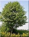 TQ7818 : Wild service tree in flower by Patrick Roper