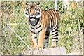 SJ4169 : Sumatran Tiger at Chester Zoo by Jeff Buck