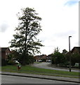 SJ6551 : Tall tree, Western Avenue, Nantwich by Jaggery