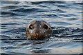 HU6398 : Grey Seal (Halichoreus grypeus), Haaf Gruney : Week 48