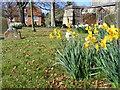 SU3987 : Daffodils in the Churchyard, Wantage by Alex Passmore