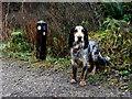 """H4881 : """"Alfie"""", Gortin Glens Forest Park : Week 50"""