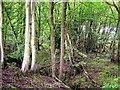 TQ7525 : Gill woodland, Stone Rock Gill by Patrick Roper