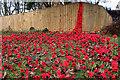 NZ5313 : Cascade of poppies : Week 50