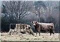 TQ7818 : Heifer at hay feeder in winter : Week 50