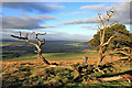 NT5715 : Dead Scots Pines at Rubers Law : Week 52