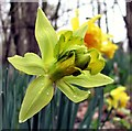 TQ8019 : Green daffodil in Brede High Woods by Patrick Roper