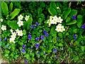 TQ7818 : Primroses and dog violets, Churchland lane by Patrick Roper
