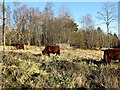 TQ7820 : Sussex Cattle in Brede High Wood by Patrick Roper