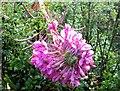 TQ3207 : Fasciate flowers of rosebay willowherb by Patrick Roper