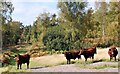 TQ7920 : Sussex cattle in Brede High Woods by Patrick Roper