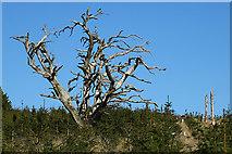 NJ2548 : Dead Tree by Anne Burgess