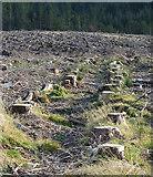 NJ2448 : Tree Stumps by Anne Burgess