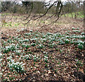 TG2303 : Snowdrops in Caistor St Edmund's churchyard by Evelyn Simak