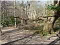 TQ2897 : Woodland oak, Trent Country Park by Robin Webster