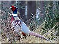 TL0037 : A  rather  splendid  Pheasant  in  Woburn  Forest by Martin Dawes