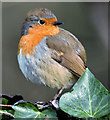 J3268 : Robin, Minnowburn, Belfast (March 2017) by Albert Bridge