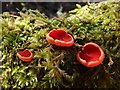 NS3977 : Scarlet Elfcup by Lairich Rig