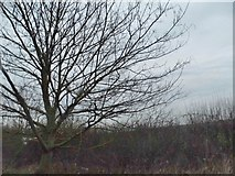 TL0641 : Tree by the A6, Chapel End by David Howard
