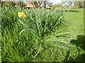 TM0242 : Daffodil, Hadleigh by Hamish Griffin