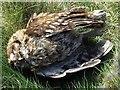 NZ1266 : Death of a tawny owl : Week 15