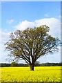 TQ0725 : Tree in a field of oil seed rape near Hole Farm : Week 16