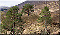 NN1590 : Pine trees beside Allt Dubh by Trevor Littlewood