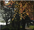 SX9065 : Copper beech leaves, Torquay Cemetery : Week 18