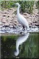 SY0886 : East Devon Little Egret : Week 19