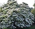 TQ2730 : High Beeches Garden: Cornus kousa : Week 20