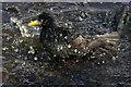 HP6309 : Starling (Sturnus vulgaris), Hamar, Baltasound : Week 21