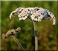 TG3004 : Hogweed (Heracleum sphondylium) - flowers : Week 21