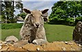"""SP3231 : Great Rollright's two friendly sheep: """"Hi there, have you brought anything more interesting than grass for us to eat?"""" : Week 22"""
